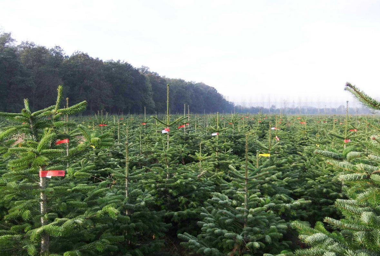 6,5 millions de sapins naturels ont été vendus l'an dernier en France